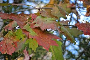 oak leaf color 9