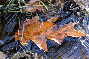 oak leaf iced in