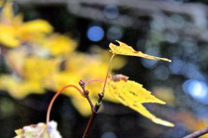 red maple leaf scar