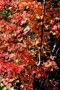 red maple splendor