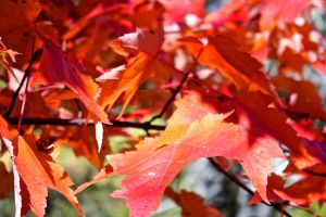 red maples 1
