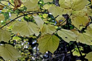 striped maple leaves