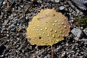 water droplets on big-tooth aspen