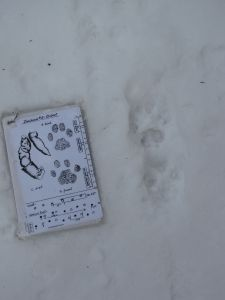 winter bobcat prints