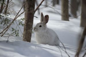winter, snowshoe hare