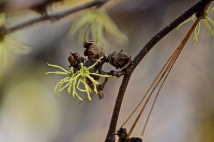 witch hazel 1