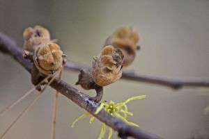 witch hazel nuts