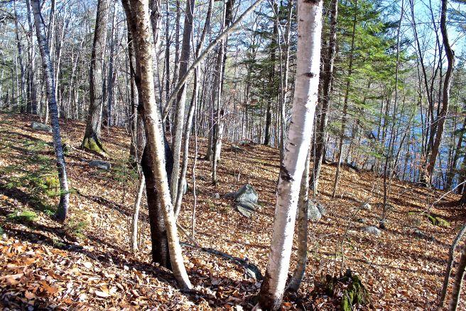 4 birches.jpg
