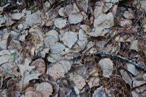 big tooth aspen leaves