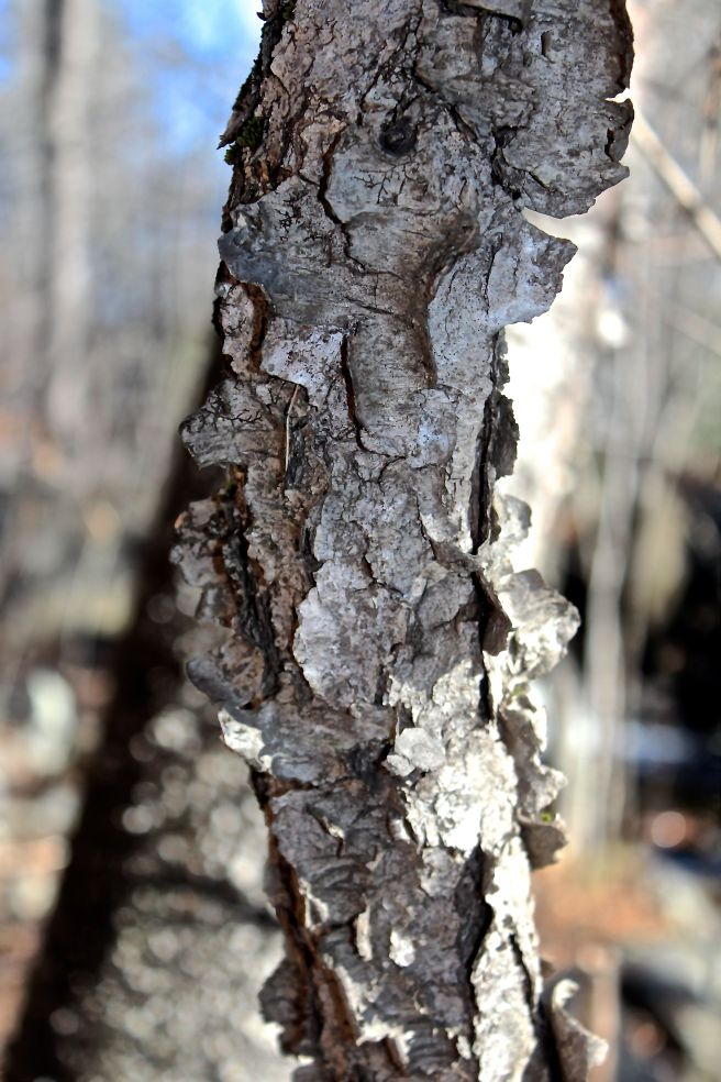 black cherry bark.jpg