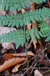 Evergreen wood fern 2