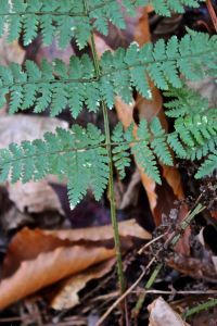 Evergreen wood fern 2