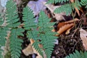 evergreen wood fern