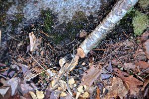 fresh beaver root