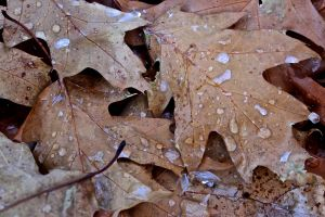 ice on leaves