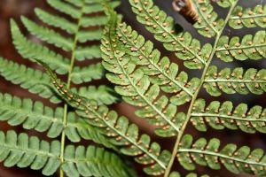 marginal wood fern 2