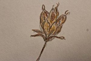 Meadowsweet sketch