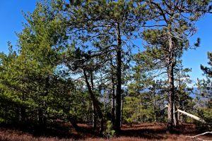 north ridge pines