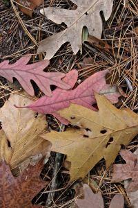 Notch oaks
