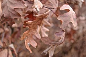 oak leaves 2