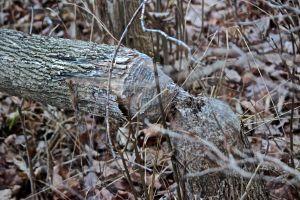 old beaver 2
