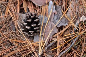 pitch pine and needles