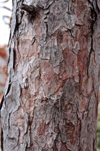 pitch pine bark