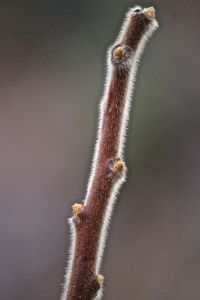 staghorn sumac stalk