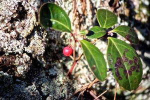 wintergreen berry