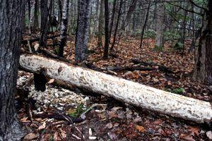 beaver debark