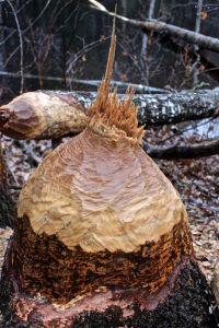 beaver statue 2