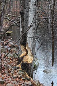 beaver works 2