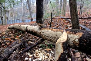 beaver works 5