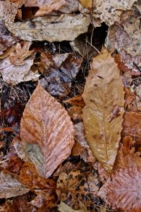 beech and chestnut 2