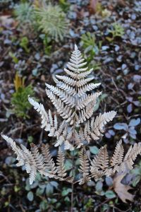 bronze bracken fern