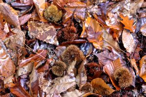 chestnut husks