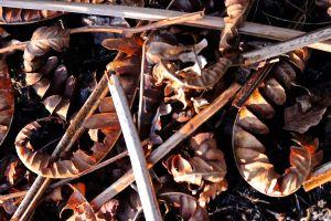 cinnamon fern