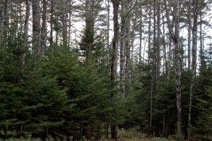 evergreens2