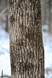 frullania, leafy liverwort