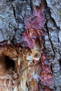 hemlock inner bark