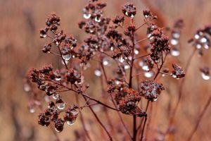 meadowsweet droplets