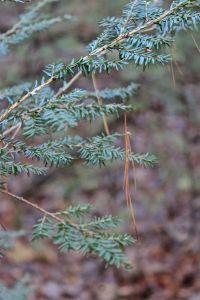 pine needles 1