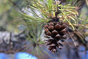 pitch pine 2
