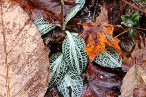 rattlesnake leaf