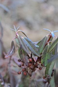 sheep laurel fruit