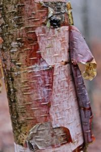 young paper birch bark