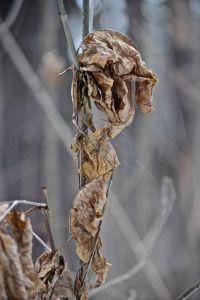 ash leaves 1