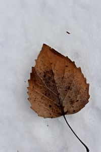 bigtooth aspen leaf