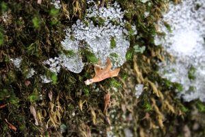 boulder birch seed