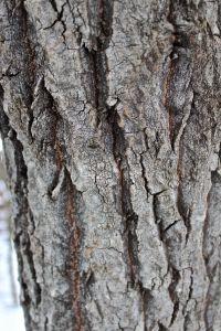 btaspen bark
